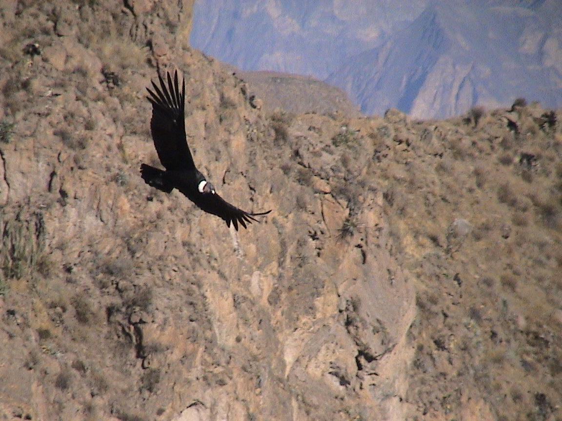 Valle del Colca, el rey Condor